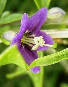 floraison d'un plant de lycium barbarum sauvage